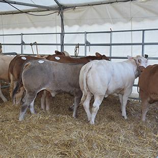 Les 15 et 16 septembre 10 me dition du concours de bovins de boucherie et de veaux gras - Chambre agriculture haute garonne ...